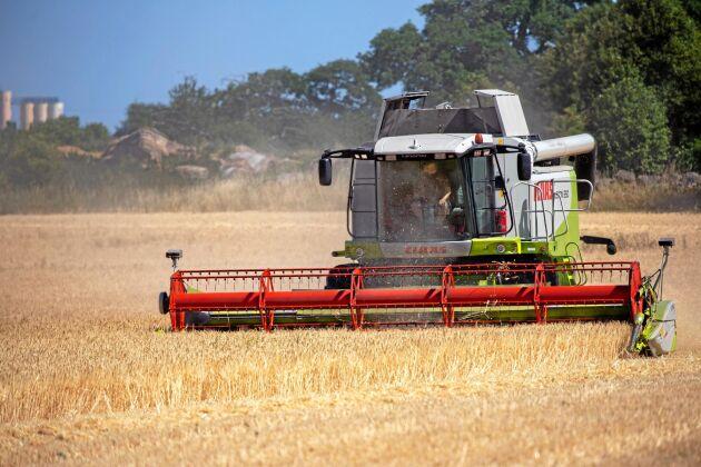 5,9 miljoner ton. Så hög kan årets spannmålsskörd bli, enligt Jordbruksverkets skördeprognos.
