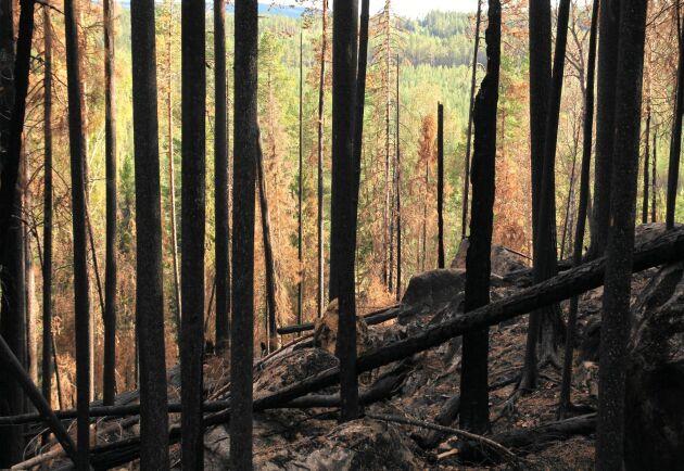Skogen behöver bränder, hyggen och andra störningar för att kunna bevara artrikedomen, skriver Amalia Mattsson.