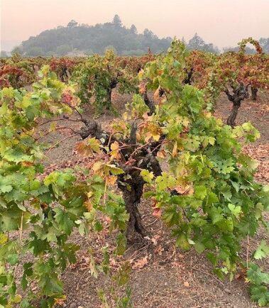 Vincent Tofanellis mamma planterade de här vinrankorna. De kommer klara sig, trots närheten till den jättelika branden.