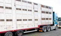 Skyddszon för svinpest utvidgad i Polen