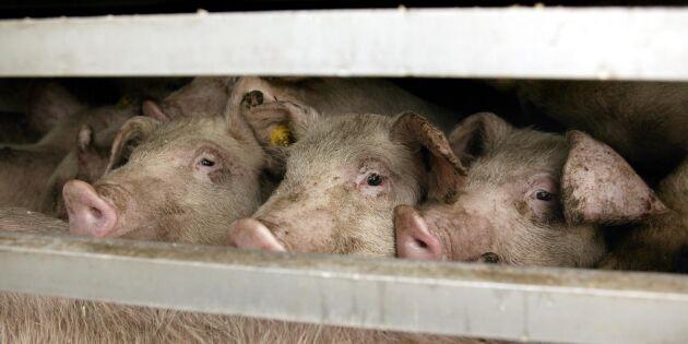 Hårdare EU-granskning av djurtransporter