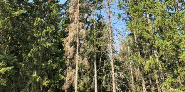 Ny tjänst identifierar barkborreangrepp