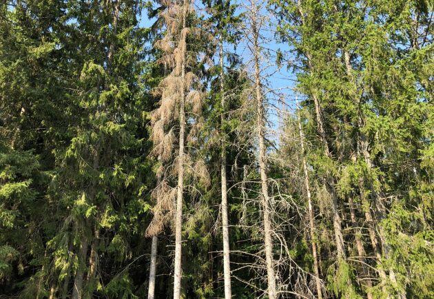Barkborrekollen ska larma vid exempelvis angrepp av granbarkborre. Arkivbild på ett träd som har blivit angripet av granbarkborre.