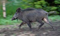 Ystad tar krafttag mot vildsvinsexplosion