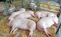140 000 grisar avlivas på Europas näst största svinfarm
