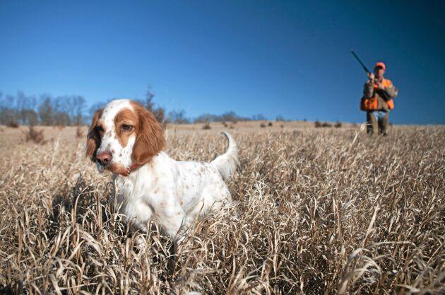 Fågelhundar som engelsk setter gör mest nytta för mattes och husses hälsa.