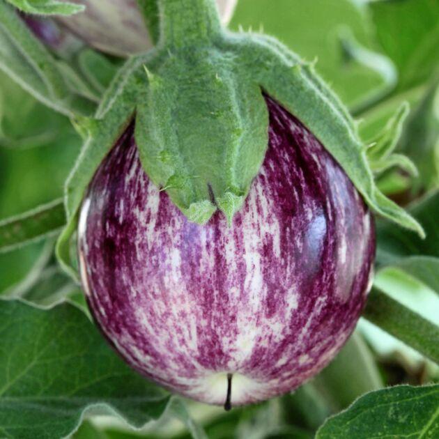 Aubergin 'Pinstripe' ger många minifrukter.