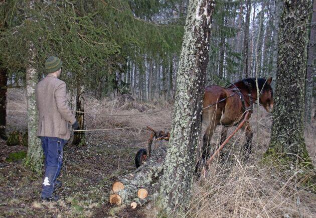 Skogskörningen får uppmärksamhet under varma vintrar men även under normala förhållanden har Satankai och kusken Johannes Söderqvist fullt upp.