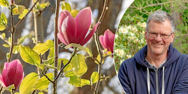 Experten: Så lyckas du med magnolia