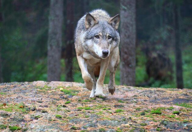 Vi är övertygade om att lagstiftarna har full koll på problemen med vargar, skriver debattörerna.