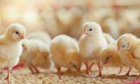 Kycklingar med bra uppväxt är mer optimistiska