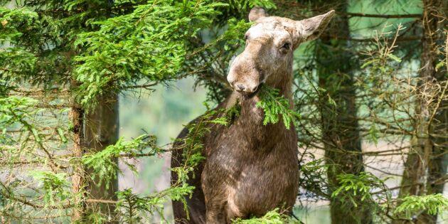 """Skogsbolagen avstår skyddsjakt på älg - """"skadan redan skedd"""""""