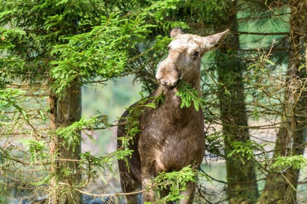 De flesta betesskadorna är redan ett faktum och effekten av en skyddsjakt är så begränsad att det inte motiverar åtgärden, säger företrädare för skogsbolagen Sveaskog, Holmen och SCA.