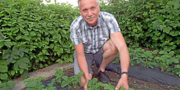 Hektiska tider för svenska jordgubbsodlare