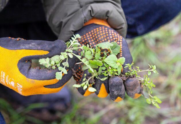 Ogräs. I det obehandlade vetefältet hittar Rikard Andersson bland annat veronica, snärjmåra, vallmo, plister och våtarv.