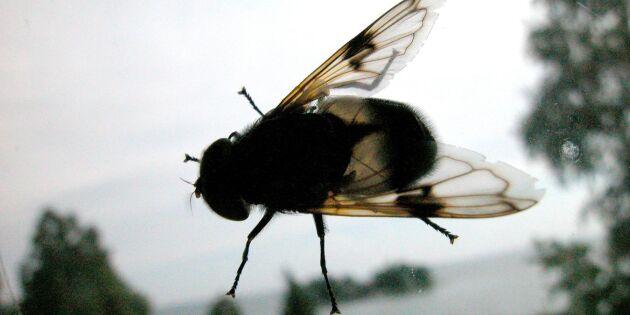 Rekordmånga klagar på flugor – minkgårdar tros vara källan