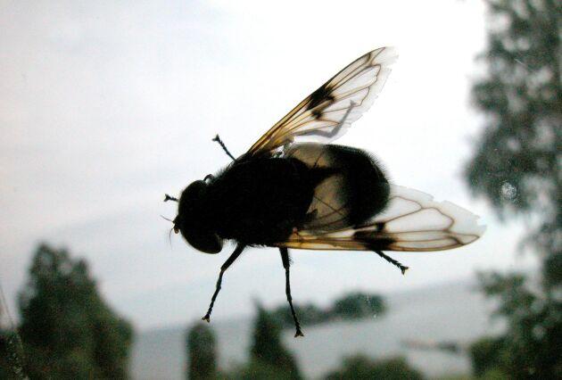 Problemen med flugor har genom åren varit något av en följetong på Listerlandet. Arkivbild.