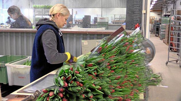 Tulpanerna odlas, skördas och binds till buketter - allt görs för hand.
