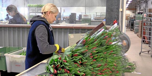 Högtryck för tulpanförsäljningen