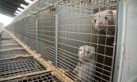 Aktivister döms efter fastkedjning vid minkfarm