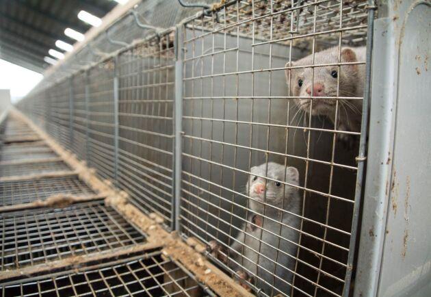 De som arbetade på minkfarmen kunde inte ta sig fram och ge mat åt minkarna då aktivisterna var i vägen. Arkivbild.
