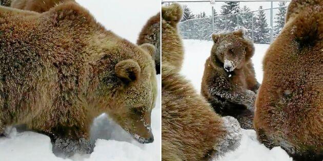 Kolla in härliga filmen! Nyvakna björnarna lufsar ut ur vinteridet