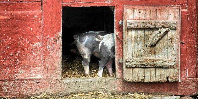 Köttskolan: Oroväckande skillnad på svenskt och importerat griskött