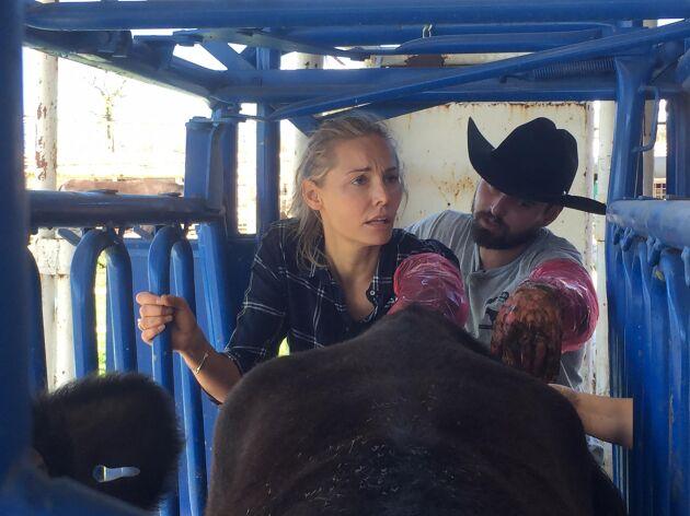 Här provar Carina Berg jobbet som kofarmare, som en del i serien Världens tuffaste jobb.