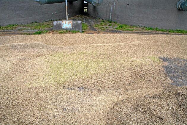 Stor skörd med hög vattenhalt, haveri på anläggningen och en lång regnperiod under september har bidragit till situationen med stora mängder otorkad spannmål av tveksam kvalitet.