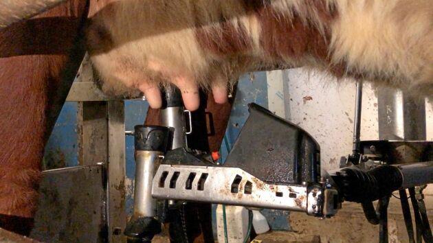 Eftersom den nya roboten inte behöver kalibreras för att hitta spenarna på varje enskild ko, så går det också mycket fortare att sätta in nya kor. 