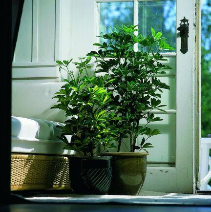 Tålig aralia med mycket blad fuktar luften.