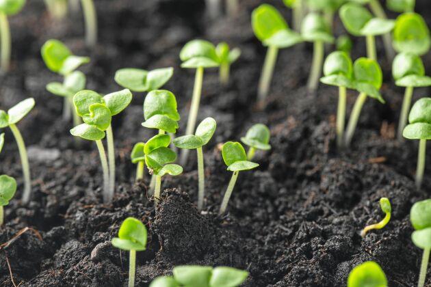 Kryddgrönt kan börja litet. Frön frö till stor planta.