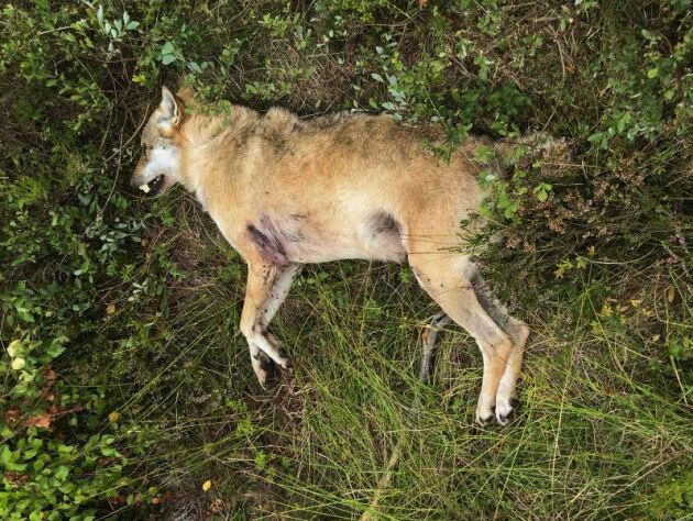 Vargen misstogs för en räv, och sköts ihjäl av en jägare i Skåne i augusti 2018.