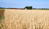Efter torkan: Fånggröda får bli huvudgröda