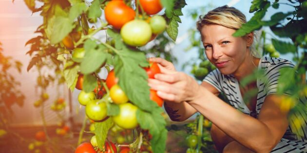 Så odlar du tomater i växthus på bästa sätt