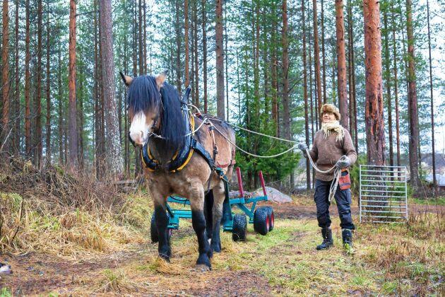 Den nordsvenska brukshästen Bero och Knut Engström i skogen för att köra hem ett par stockar.