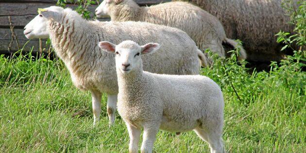 Flera fårhuvuden hittade intill vandringsled