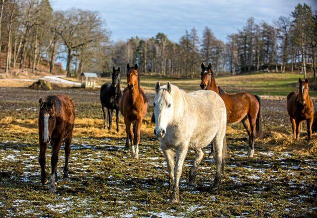 """Therése Bjerketorp upplever att hästar i lösdrift blir streetsmarta och väldigt """"säkra på hoven"""" av att gå ute jämt. """"De skadar sig inte på något vis mer än uppstallade hästar som går i rasthage på dagarna. De lösdriftshästar som trots allt får någon skada stallar vi upp."""""""