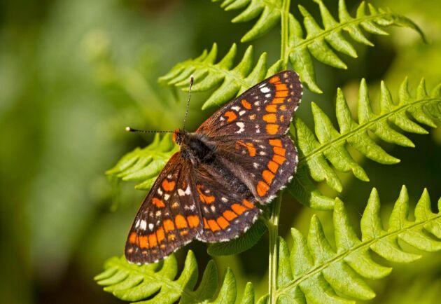 En miljon växt- och djurarter riskerar att försvinna de kommande decennierna. På bilden en asknätfjäril.