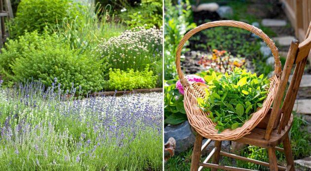 Förena nytta med nöje i trädgården i sommar genom att odla vackra, doftande läkeväxter.