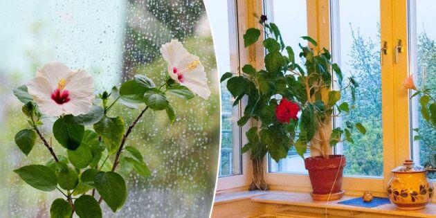 Älskade hibiskus! 6 skötselråd som får den att leva länge