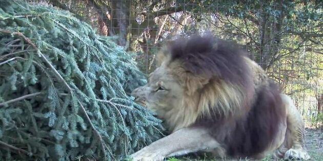 """Ritsch, ratsch! Se vildkatterna göra """"filibombombom"""" av julgranar!"""