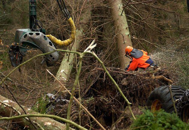 Att röja i skogen efter stormen var ett farligt uppdrag. 11 personer omkom under röjningsarbetet.