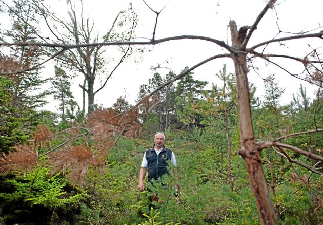 Skadedrabbad. Lennart Hagberg på Orust har fått stora och dyra skador i sin tallplantering. , Ellös. Många av ungskogen tallar har fått påhälsning av älgar.