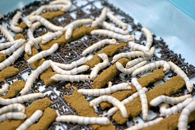Silkesmaskar mumsar på pellets av mullbärslöv och sojabönor.
