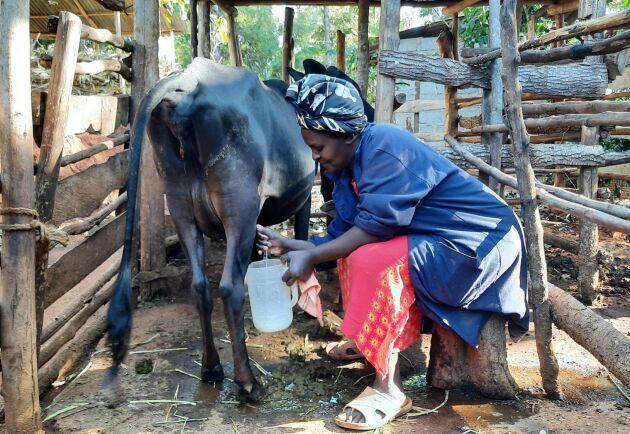 Mary Mwikali Musua i Kenya har två mjölkkor och två tjurar. Vatten till djuren är ett stort bekymmer. Närmaste vattenhål ligger 10 kilometer bort. Hon har investerat i en liten vattenpump men den räcker inte till familjen och gårdens alla djur och växter.