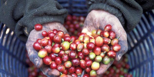 Klimatförändringen slår hårt mot kaffeodlare