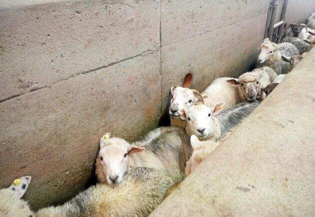 För nötproducenter stannar den största andelen av köttet som produceras kvar i Storbritannien, medan drygt 50 procent av alla lamm och får som föds upp på Nordirland skickas över gränsen till Irland.