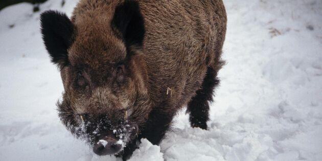 Danska jägare backar förslag om utrotning av vildsvin