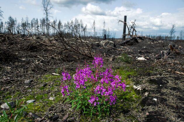 Släckningsarbete under den stora skogsbranden i Västmanland 2014.